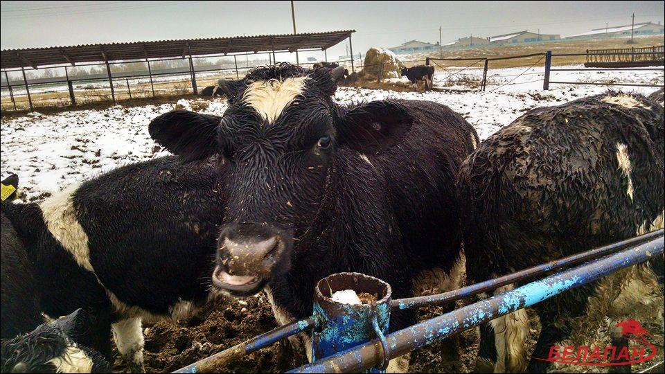 «Дохнут коровы, нет запчастей». В Буда-Кошелевском районе сельчане пошли против начальства