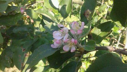 Фотофакт: в саду гомельчанина в августе зацвела яблоня