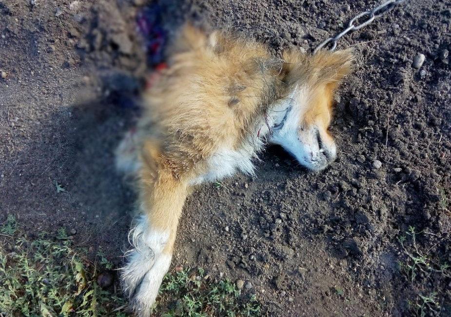 """""""Чупакабра"""" держит в страхе белорусскую деревню: неизвестный зверь разорвал Пушка пополам"""