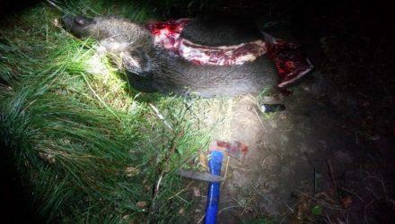 На гомельской трассе сбили дикого кабана. У мужчин, которые ехали на рыбалку, «включился» охотничий инстинкт