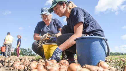 От лука не плачут, на луке – зарабатывают: студотряд из восьми девчонок упорно трудится на луковом поле под Гомелем