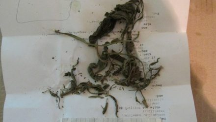 Житель Брагинского района выращивал во дворе коноплю и сушил в микроволновке (фото)