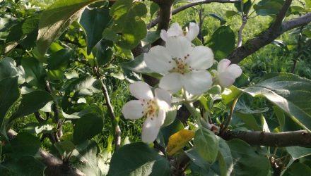 Теперь и под Гомелем. В Старой Белице в августе вновь расцвели яблони