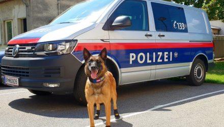 По горячим следам: в Австрии из-за жары служебных собак обули в кроссовки