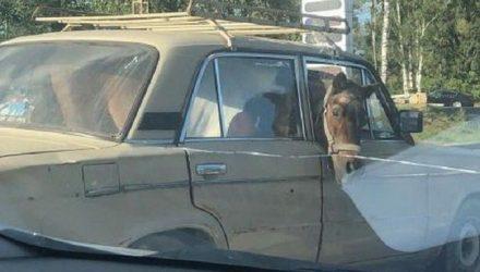 «Как они его туда запихнули?» В Москве в «Жигулях» перевозили коня