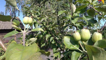 Второй урожай яблок за год собирают под Гомелем