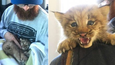 Канадец нашел в лесу маленького брошенного котёнка. Точнее он думал, что это котёнок...
