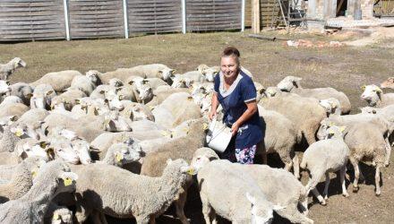 Шерсти клок. Под Гомелем размножают и стригут овец
