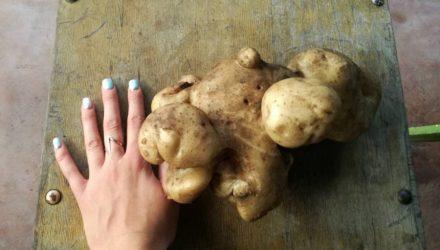 """""""Вырастила мутанта!"""" Белоруска выкопала в огороде картофелину весом более килограмма"""