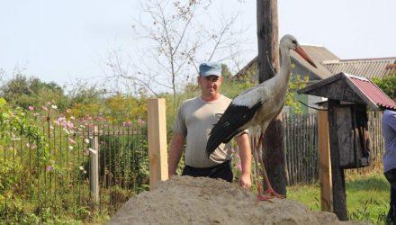 В Добрушском районе дачники приютили аиста с окровавленным крылом, но теперь боятся штрафа