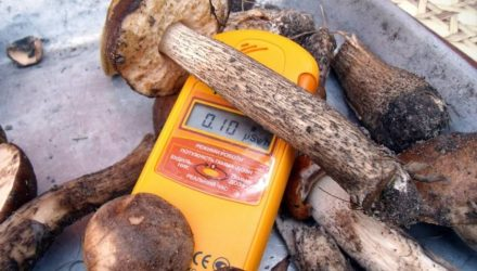 В одном из районов Гомельщины собрали радиоактивные грибы, норма превышена в 12 раз