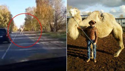 И тут из леса выбежал... верблюд. Водитель заснял на видео неожиданную встречу с экзотичным для Беларуси животным