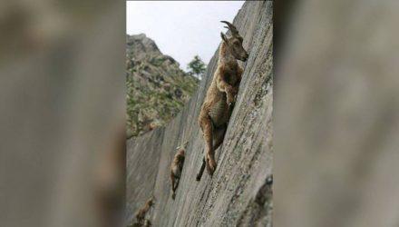 В Италии заметили бесстрашных козлов