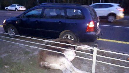 Под Гомелем легковушка насмерть сбила лосиху, лосёнок убежал