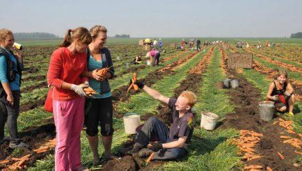СМИ: Гомельских студентов послали собирать урожай, пообещав в награду морковь, а потом вызвали на них милицию