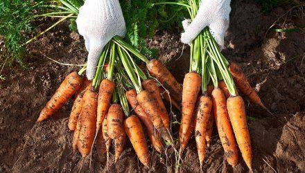Гомельские студенты: С нами не расплатились после уборки моркови. Хозяйство: Не надо наглеть