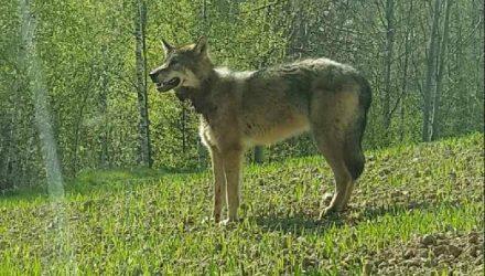 В Украине убили белорусского волка-эмигранта Михася
