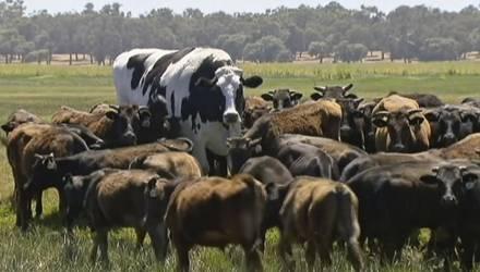 В Австралии двухметрового быка не смогли забить из-за гигантских размеров