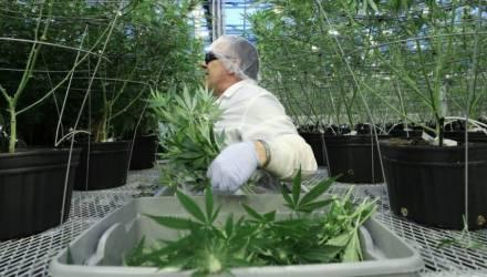 В Украине выдали первую лицензию на продукты из марихуаны? Власти отрицают