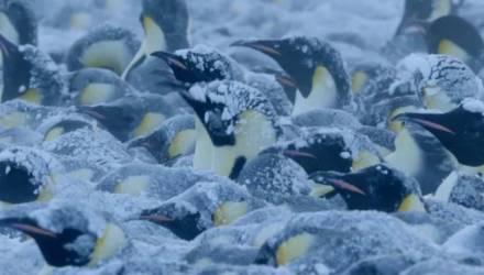 Съёмочная группа BBC Earth нарушила правило «не вмешиваться в жизнь дикой природы» и спасла пингвинов в Антарктиде