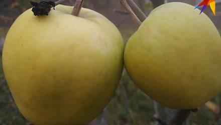 И всё-таки они вызрели: сельчанка под Гомелем собрала второй за год урожай яблок