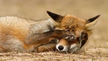 Камера сняла, как лиса в ужасе убегает, почувствовав то, что не могут люди – видео