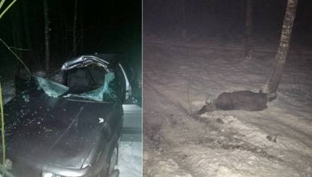 Под Речицей VW Passat сбил лося - авто врезалось в дерево, водитель в реанимации