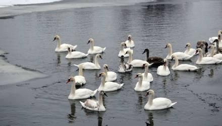 В центре Турова на реке обосновалось три десятка лебедей (фото, видео)