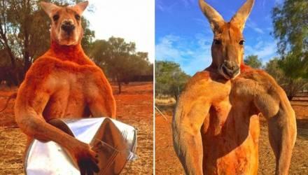 Умер «мускулистый кенгуру» Роджер, ставший мемом и одним из символов Австралии
