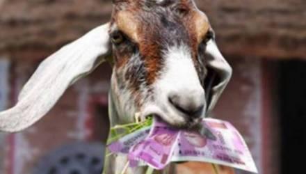 В Сербии коза вероломно съела хозяйские 20 тысяч евро. Её с горя зажарили