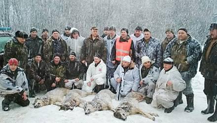В Шумилинском районе ликвидировали волчью стаю