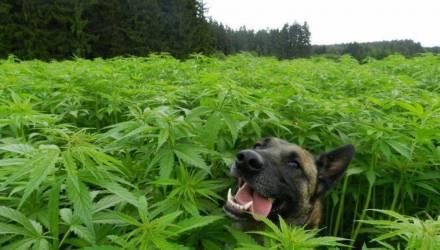 На Гомельщине овчарка Смайл нашёл марихуану