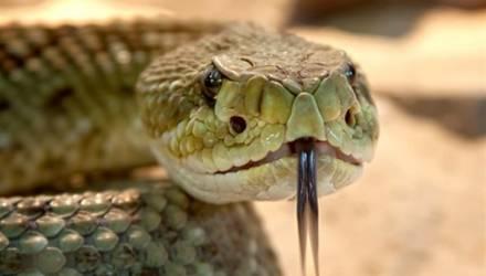 Укушенный змеей мужчина укусил жену, чтобы умереть вместе с ней