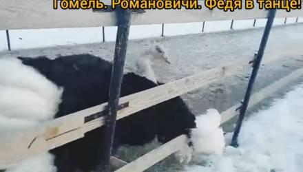 Видеофакт. Смотрите, как под Гомелем страус танцует «цыганочку»