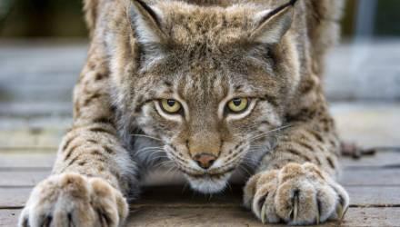 В Лельчицах поймали рысь, которая неделю терроризировала городской поселок, и... отправили в зоопарк