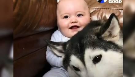 Хаски заменил младенцу няню — умилительное видео