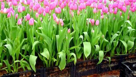 Этот ужасный цветочный бизнес: «А перед глазами тюльпаны, тюльпаны… С тех пор я их ненавижу…»