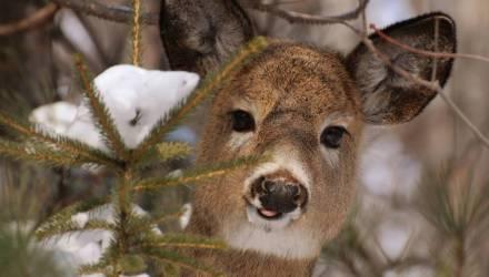 Видеофакт: на гомельской трассе между Светлогорском и Речицей заметили оленей. Животных