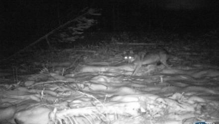 Факты о жизни полесского волка-одиночки, застреленного на Гомельщине месяц назад