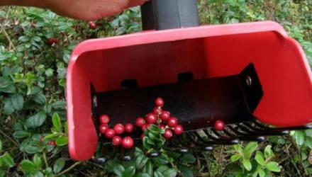 В Беларуси разрешили собирать ягоды «комбайнами»