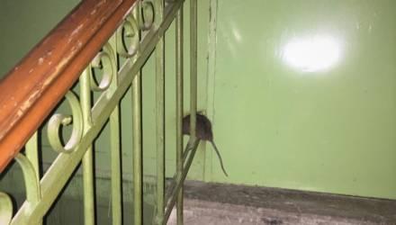 Жильцы дома в центре Гомеля жалуются, что их атакуют крысы – видео