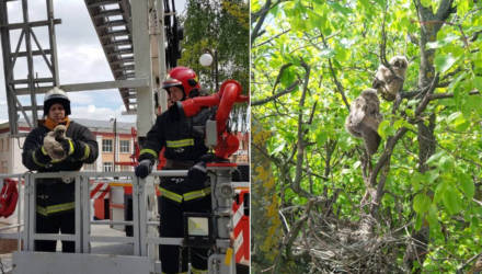 Доброты пост. На Гомельщине спасатели помогли выпавшим из гнезда совятам (фото, видео)