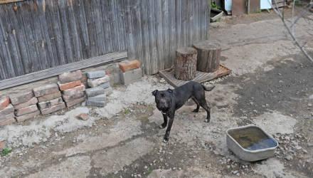 «Собака худая, явно бесхозная». Хозяин питомника бойцовских пород — о нападении питбуля в Бобруйске