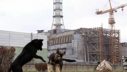 33 года назад катастрофа на АЭС вынудила людей покинуть Чернобыль. Теперь это уникальное «убежище» для дикой природы