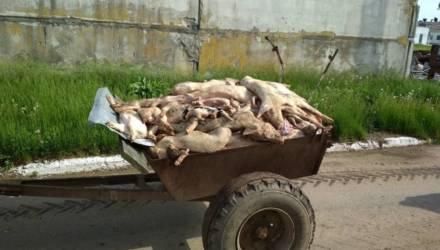Работники хозяйства на Гомельщине, где от голода дохнут свиньи: Приехали силовики, увезли директора