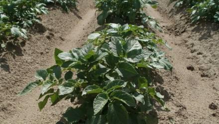 Как спасать урожай картофеля в засуху?
