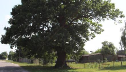 Вековой дуб на Гомельщине признали памятником природы