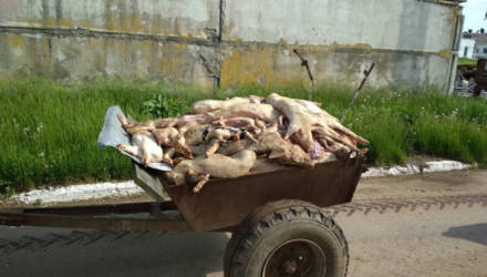 Чиновники объяснили, почему в крупном хозяйстве на Гомельщине от голода дохли свиньи. Силовики отпустили директора