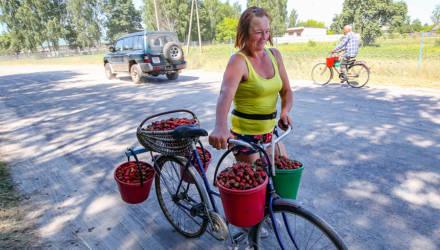 Котировки белорусской клубничной биржи: как не только вырастить, но и продать сладкую ягоду