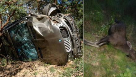 Под Светлогорском BMW врезался в дерево, а Mercedes сбил лося